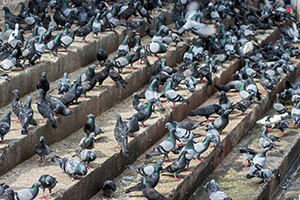 The bigger the city, the bigger the pigeon problem!