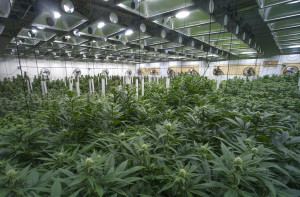 Cannabis plants in climate-controlled growing facility.